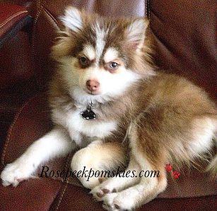 25-75 Pomsky Puppy