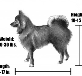 A full grown adult pomsky is approximately 10 to 15 inches tall