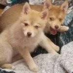 Agnus and Stewart Mountain Shadow Pomskies 1.25 litter