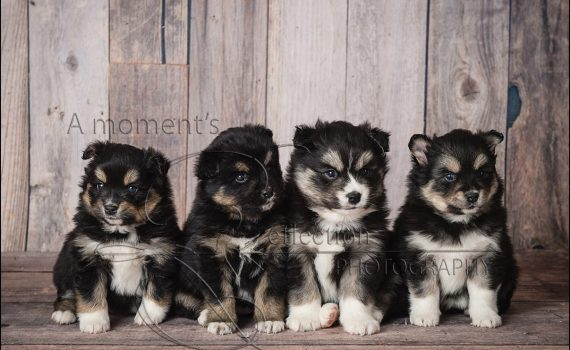 Mountain Shadow Pomskies - Litter 1.25.2017 Troll Family 3