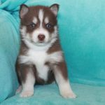 SZ Pomskies Puppy 1