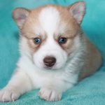 SZ Pomskies Puppy 3