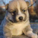 SZ Pomskies Puppy 6