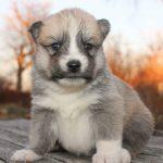 SZ Pomskies Puppy 9