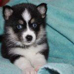 SZ Pomskies Puppy 11