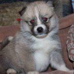 SZ Pomskies Puppy 13