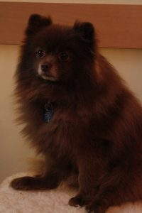 Mountain Shadow Pomskies Sire