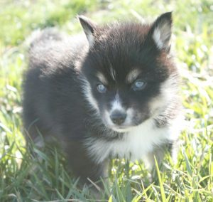 Mountain Shadow Pomskies Puppy