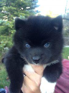 Chinook Pomskies Puppy