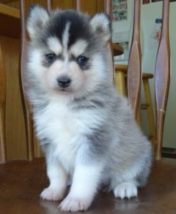 Pomsky Northerns Sire