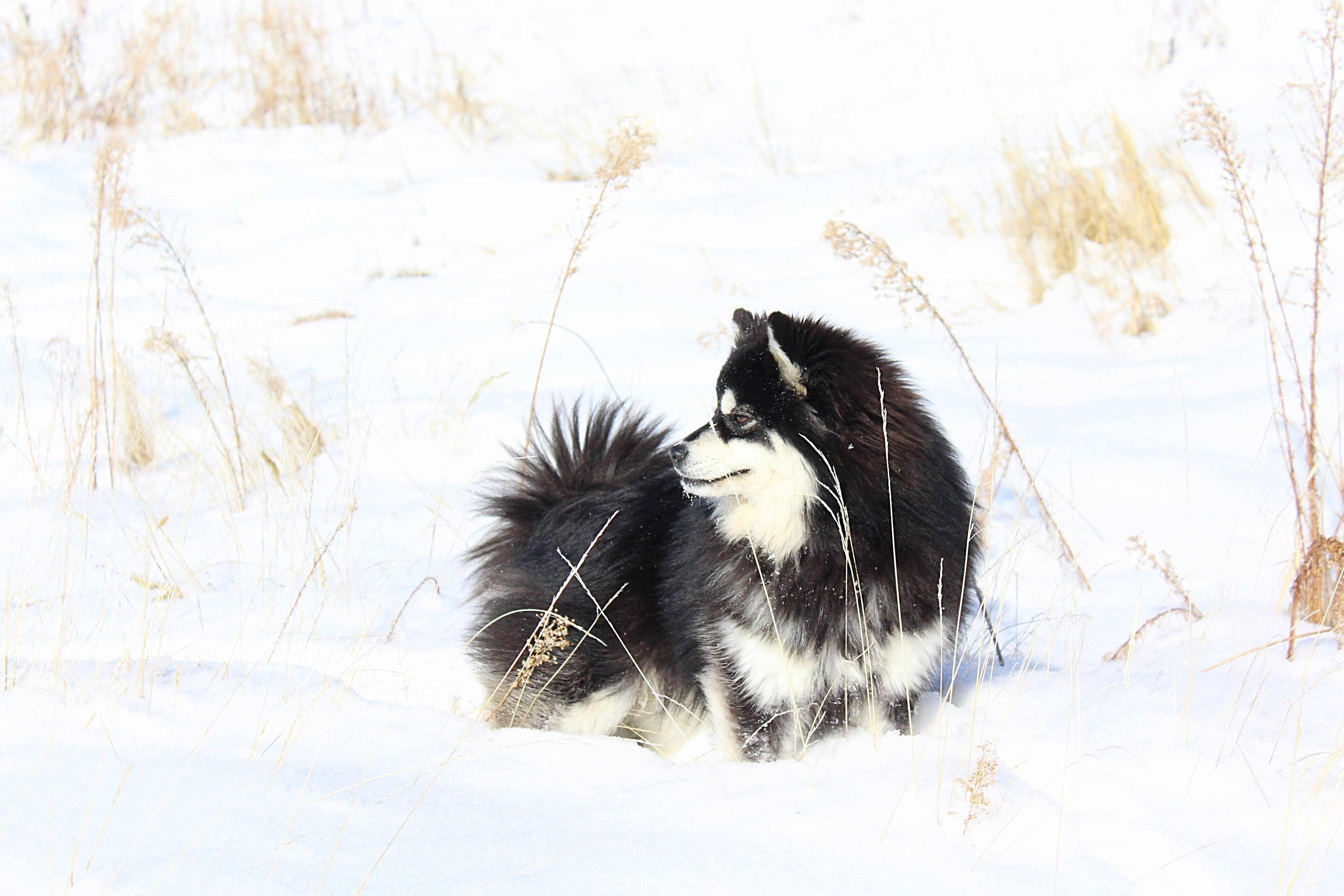Lollipop Pomskies 2016 Pomsky of the year submission (5)