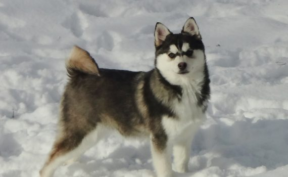 Pomsky Northerns 2016 Pomsky of the year submission (2)