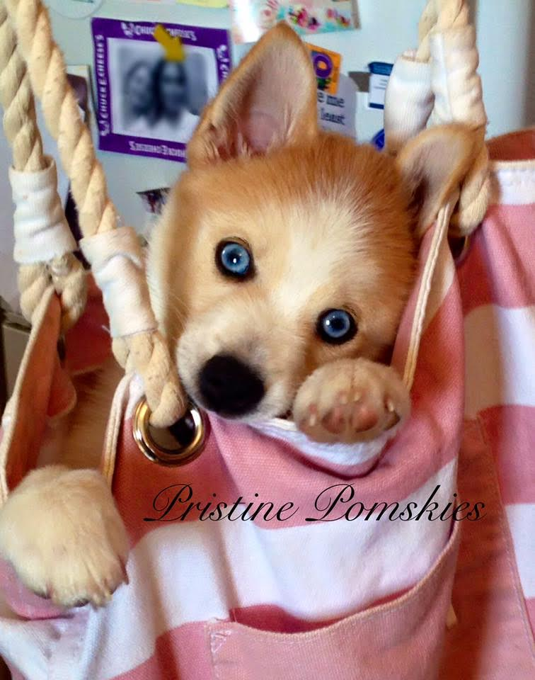 Pristine Pomskies 2016 Pomsky of the year submission