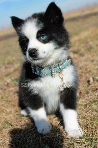 SZ Pomskies Puppy