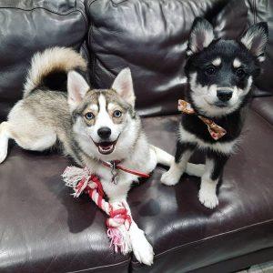 Prestige Pomskies Puppy