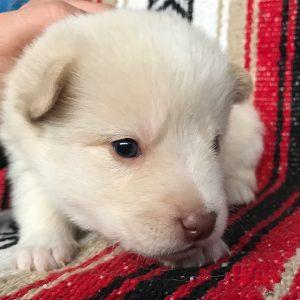 Sun Valley Pomskies Puppy
