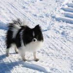 Elvis - Midnight Sun Pomskies Pomeranian Sire
