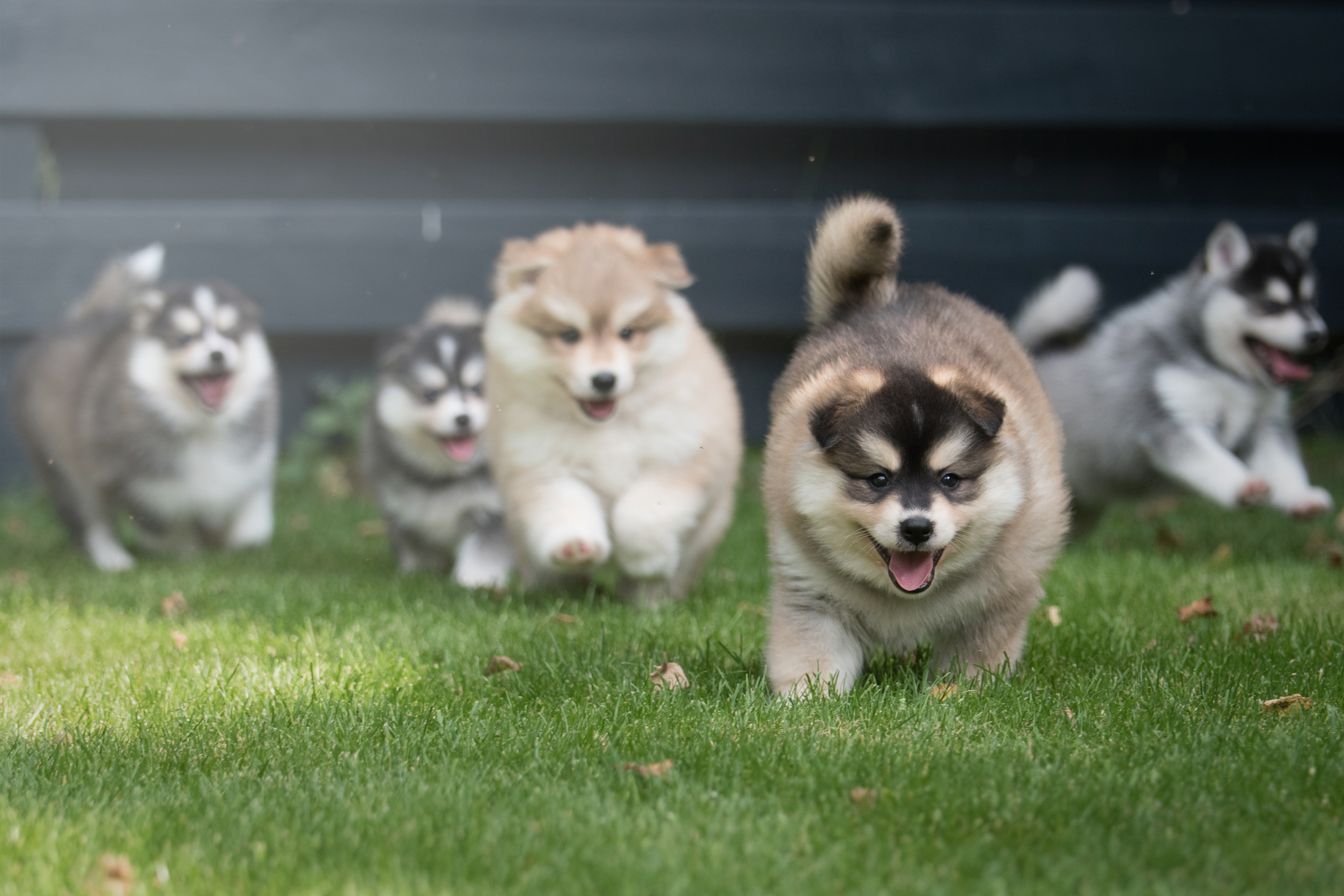 Pomsky Puppies For Sale in CT