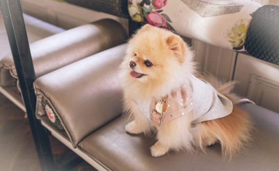 Pomeranian or Pomsky_ What Breed is Better for Your Family_