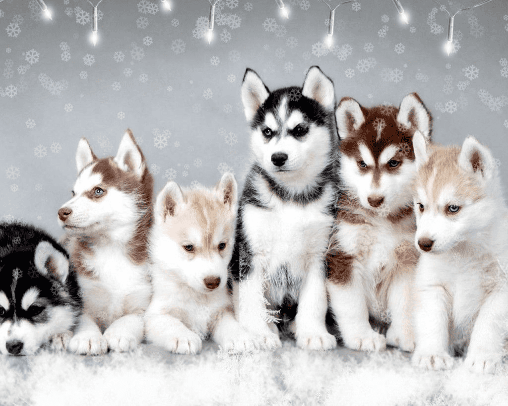 features of Pomsky Breed - Photo 1