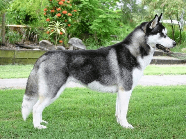 features of Pomsky Breed - Photo 2