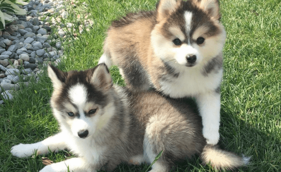 features of Pomsky Breed - Photo 3