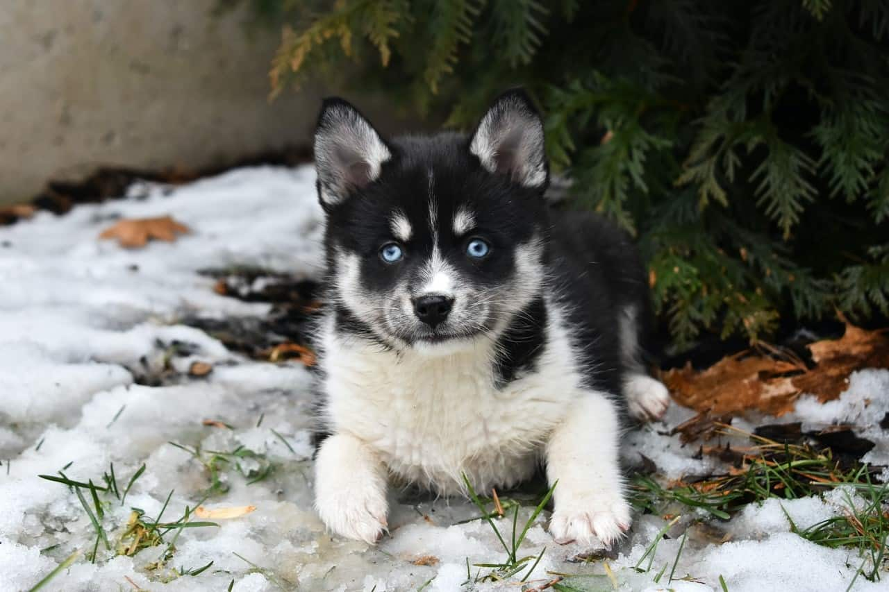 Student owners of Pomsky Photo 2